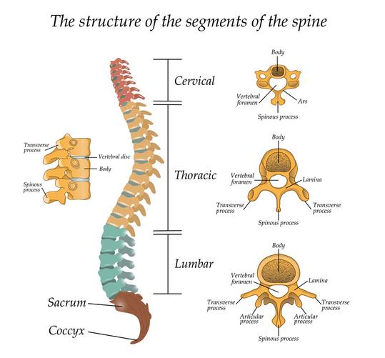 Anatomia della cervicale e del disco