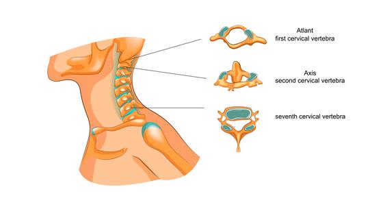 Anatomia cervicale