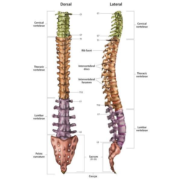 la colonna vertebrale fisiologia normale