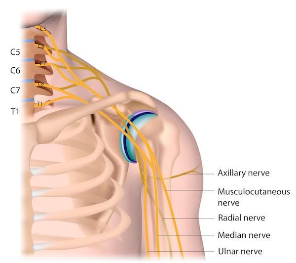 spalla collo anatomia nervi
