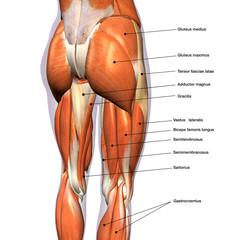 anatomia gambe