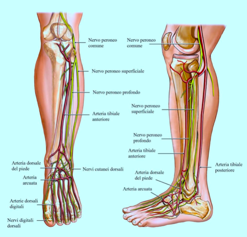 patologie gambe nervi muscoli e tendini