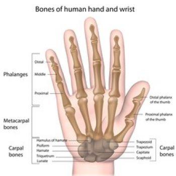 anatomia-polso